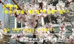[영상]춘래불사춘, 도심과 조화를 이룬 벚꽃~