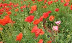 김천혁신도시에 꽃양귀비가 아름다운 자태로 유혹한다.