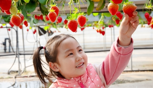 칠곡군, 수확은 언제나 즐거운 것이여…딸기 따는 동심